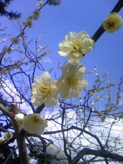 北野天満宮の梅.jpg